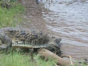2m crocodile escaping into the swollen Grumeti.