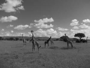 Giraffe boyband shot