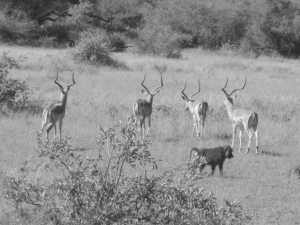 Impala and baboon