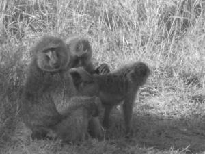 Baboons.
